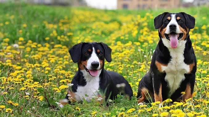 пара собак породы Энтлебухер фото