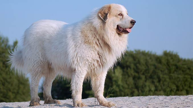 фото пиренейской собаки