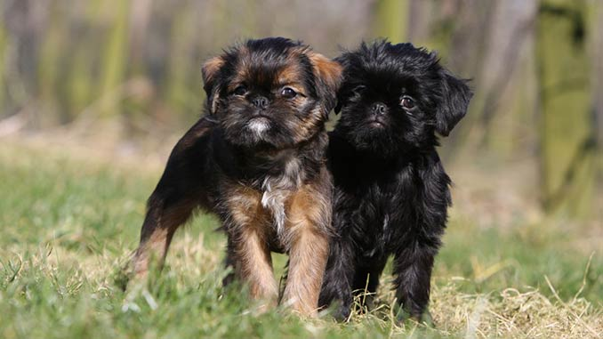 Бельгийский гриффон фото щенков
