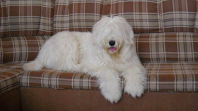 южнорусская овчарка на диване фото