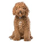 Лабрадудль фото взрослой собаки