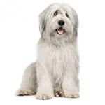 южнорусская овчарка фото взрослой собаки