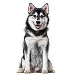 Помски - фото взрослой собаки