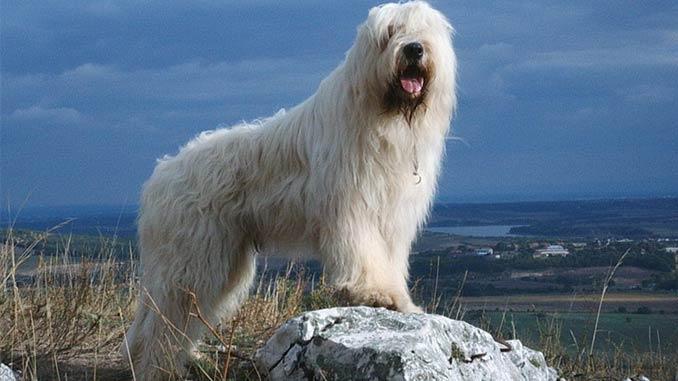 фото южнорусской овчарки