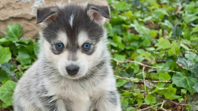 Помски фото щенка
