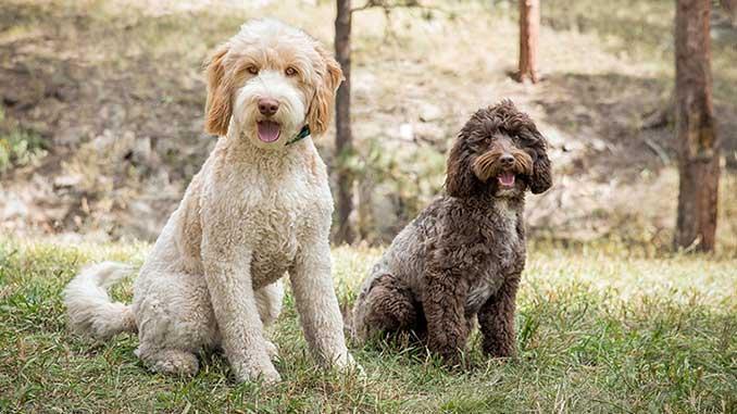 фото собак породы Лабрадудль
