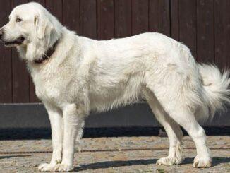 пиренейская собака фото