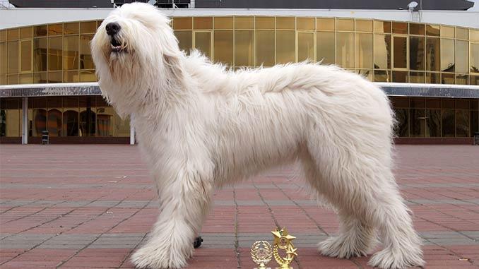 фото собаки породы южнорусская овчарка