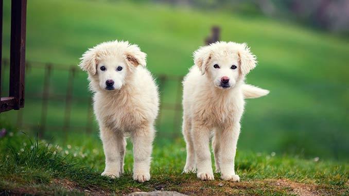 пиренейская собака фото щенков