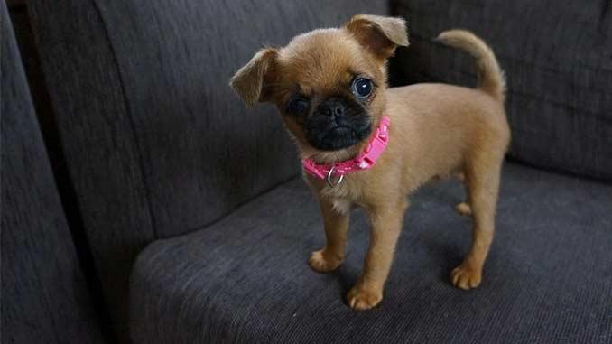 Пти брабансон фото щенка