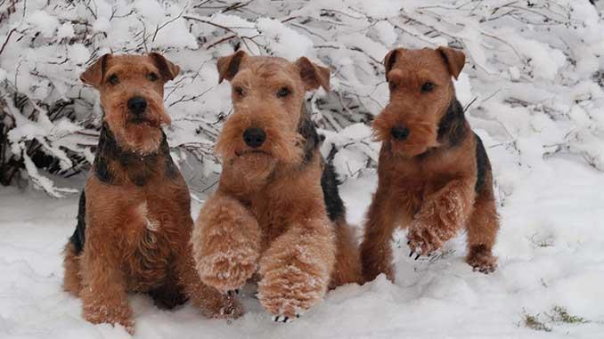 Собаки породы Вельштерьер фото на снегу