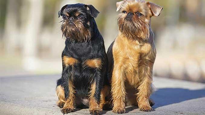 пара собак породы Бельгийский гриффон