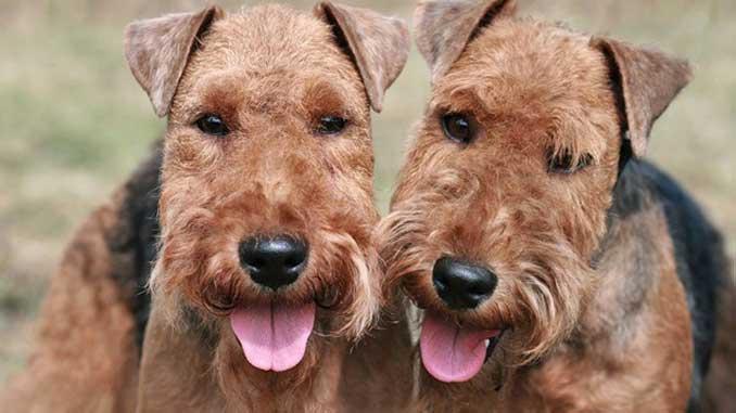 фото собак породы Вельштерьер