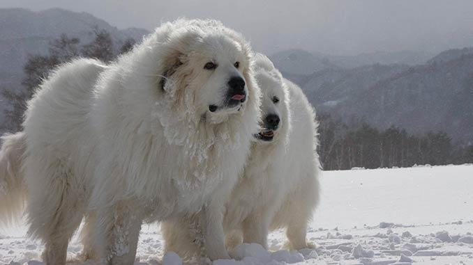 фото собак породы пиренейская горная