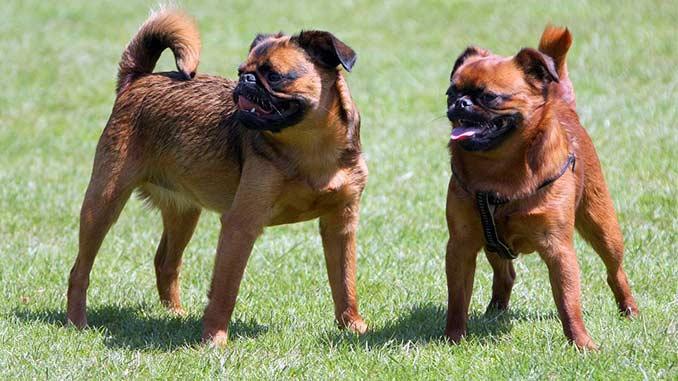 фото собак породы Пти брабансон