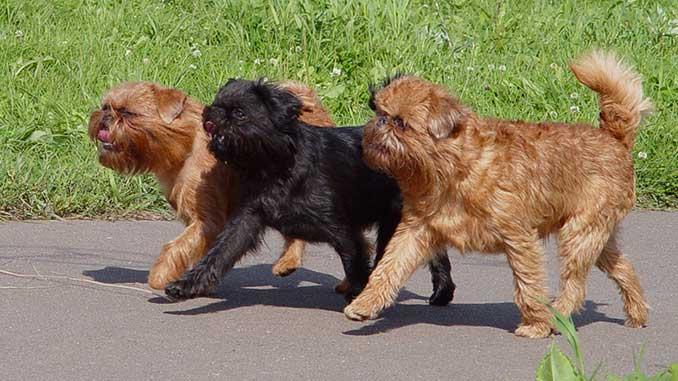 фото собак породы Бельгийский гриффон