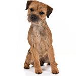 бордер терьер фото взрослой собаки