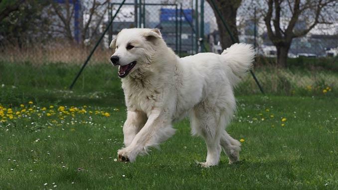 пиренейская собака на прогулке фото