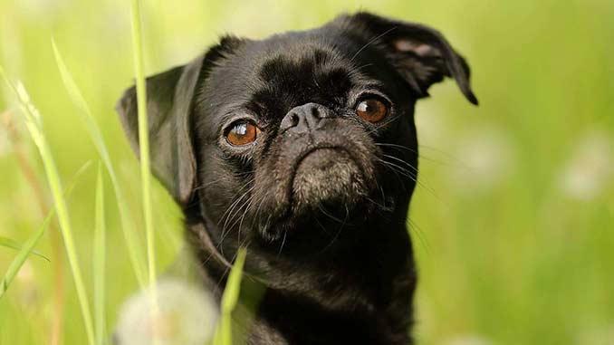 Пти брабансон черного окраса фото