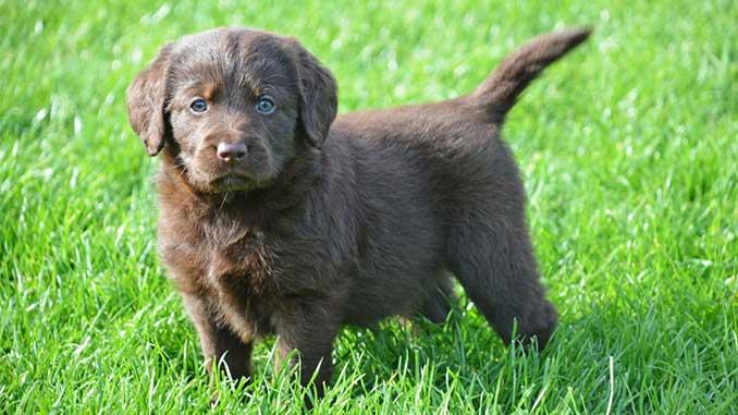 Лабрадудль фото щенка