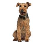 Вельштерьер фото взрослой собаки
