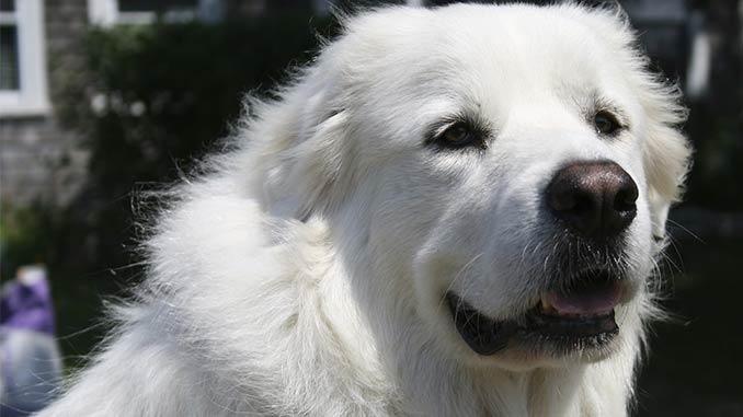 пиренейская собака фото крупным планом