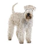 пшеничный терьер фото взрослой собаки