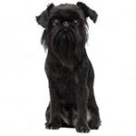 Бельгийский гриффон черного окраса фото