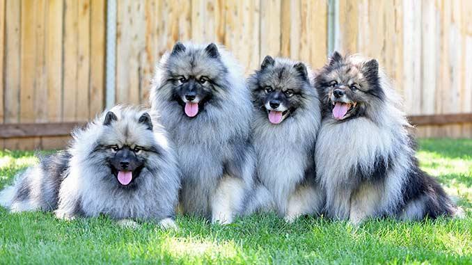 фото собак породы кеесхонд