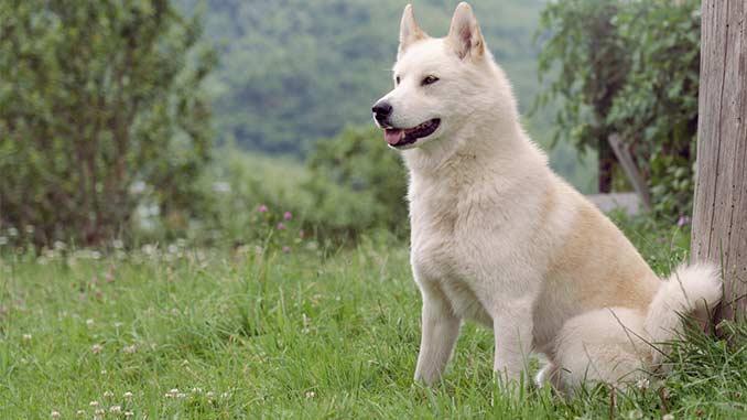 Восточносибирская лайка белого окраса фото