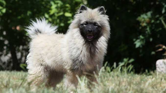 кеесхонд фото щенка