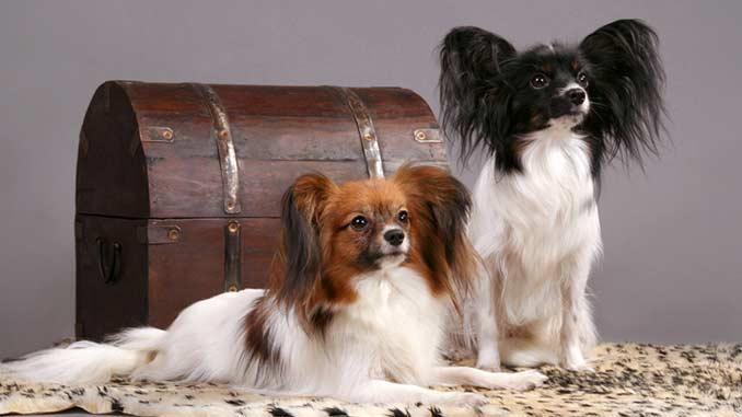 фото собак породы фален