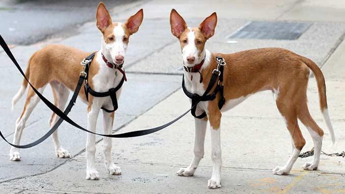 фото собак породы Поденко ибиценко