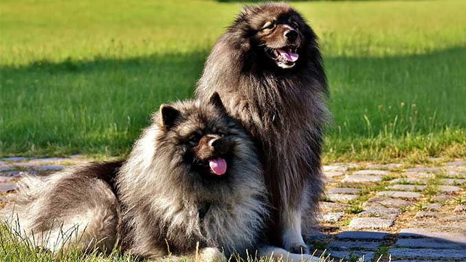 фото собак породы вольфшпиц