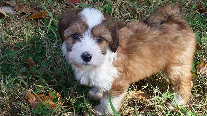 Тибетский терьер фото щенка