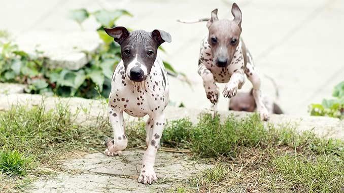 Американский голый терьер фото щенков