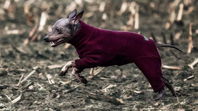 Американский голый терьер бежит фото