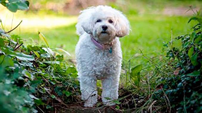 собака породы мальипу фото