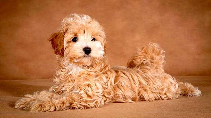 рыжий щенок мальтипу фото